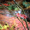 Last Leaves of a Japanese Maple in Fall 2