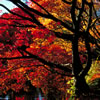Japanese Maple Trees in Fall Colors 1