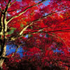 Japanese Maple Tree in Fall