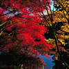 Japanese Maple Trees in Fall Colors 2