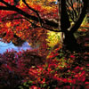 Japanese Maple Trees in Fall Colors 4